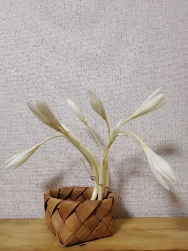 コルチカムを空気栽培してみた~購入から開花まで