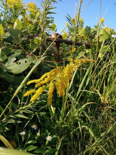 道路の端に生えている黄色い背の高い花(?)