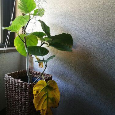 ウンベラータの葉っぱが黄色く枯れ始める
