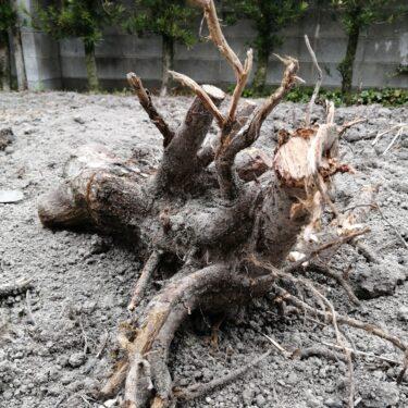 畑の木の根を取り除く