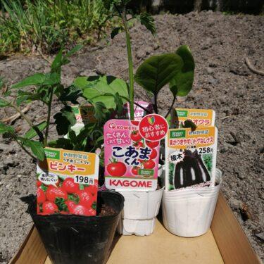 畑に夏野菜の苗を植え付ける。