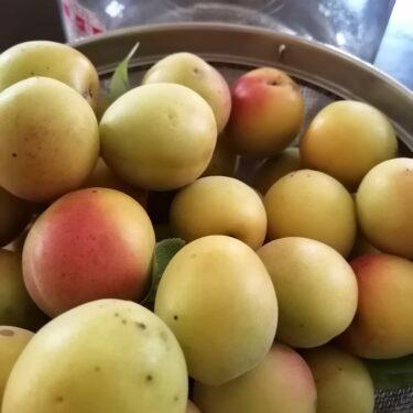 頂き物の梅で梅シロップ作り。ちょっとだけ作って楽に楽しむ。